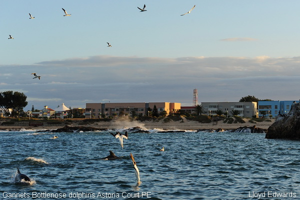 Gannets Bottlenose dolphins Astoria court