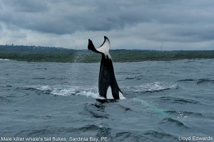 Male killer whale tail flukes