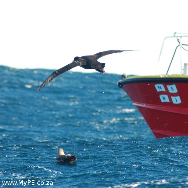 Giant Northern Petrel NSRI