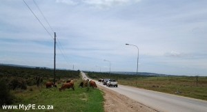 Cattle on Rocklands Road