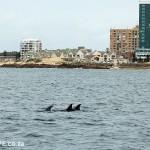 Dolphins off the Port Elizabeth shoreline