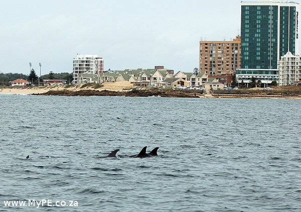 Dolphins off the Port Elizabeth shoreline