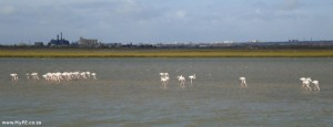 Swartkops Flamingos