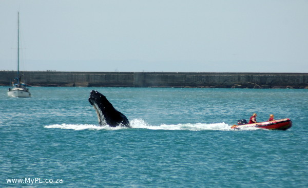 Harbour Humpbacks