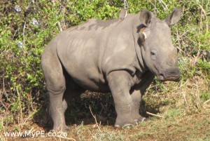 Baby Rhino in the Kariega Game Reserve