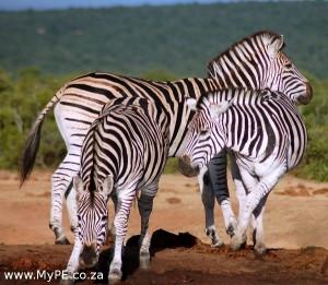 Zebra Waterhole
