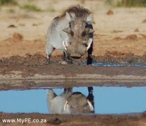 Hello Handsome Warthog