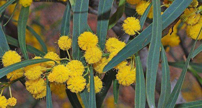 Acacia Salinga