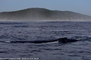 2 Released humpback Maitlands River left dorsal