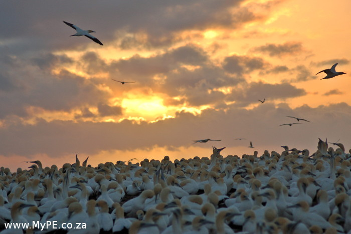 Gannets fly off to feed at sunrise.