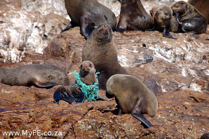 Seal Pup Net
