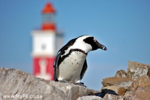 African Penguin on Bird Island
