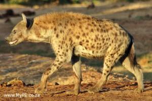 Addo Hyena