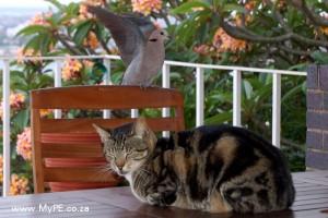 Dove Cat