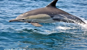Commons Dolphin