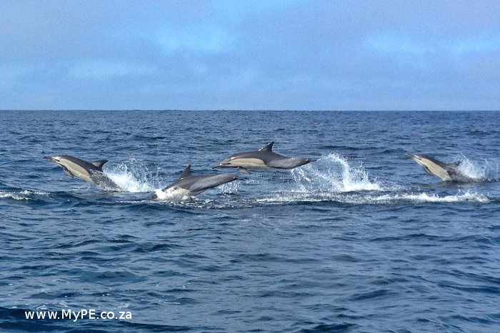 Commons Dolphins