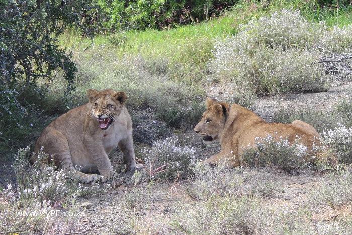 Addo Lion Cubs