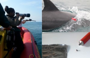 Dolphin Biopsy Sampling