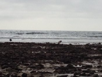 sacred ibis, port elizabeth beachfront