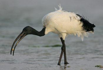 photo of sacred ibis by: steve garvie, dunfermline, fife, scotland