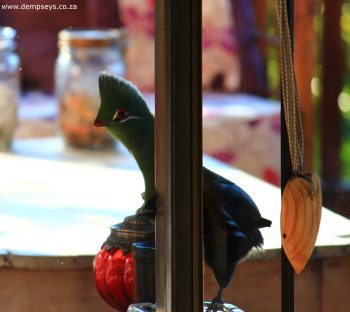 pretty painted face of turaco
