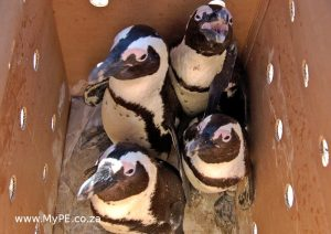 Penguins in a Box
