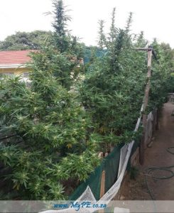 East London Dagga