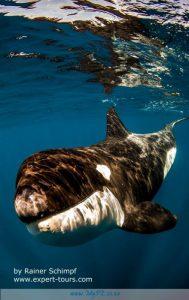 Orca Killer Whales Port Elizabeth
