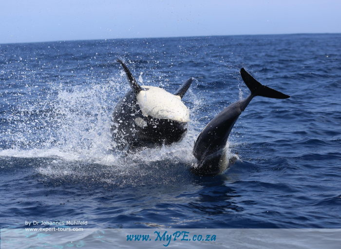 Orca Killer Whales Port Elizabeth_4