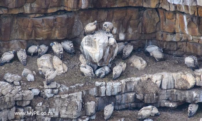 Cape Vulture Colony