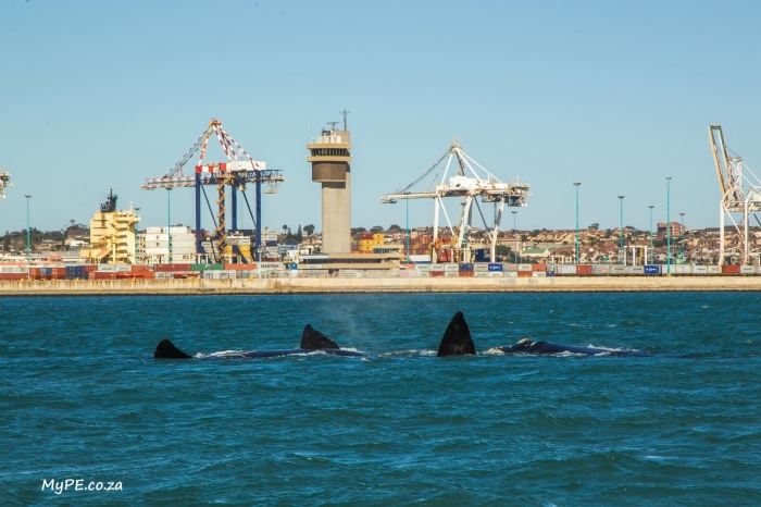 Southern Right Whales