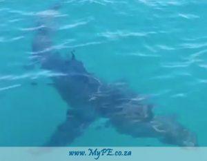 White Shark Pollock