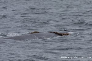 Entangled Brydes Whale