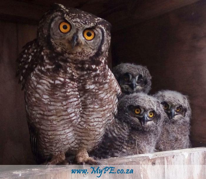 Nqura Owls