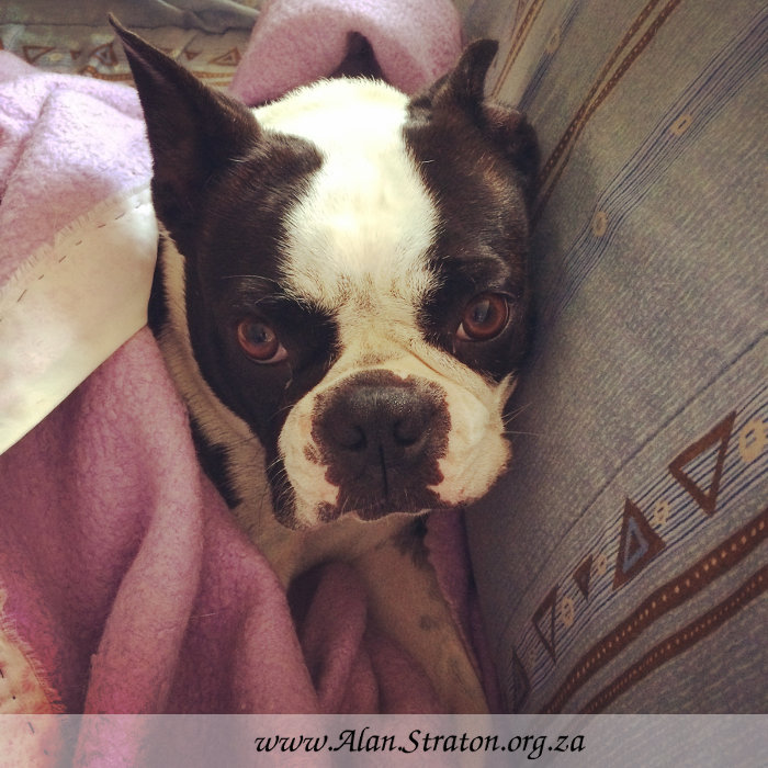 Boston Terrier Bonnie settles in for Winter