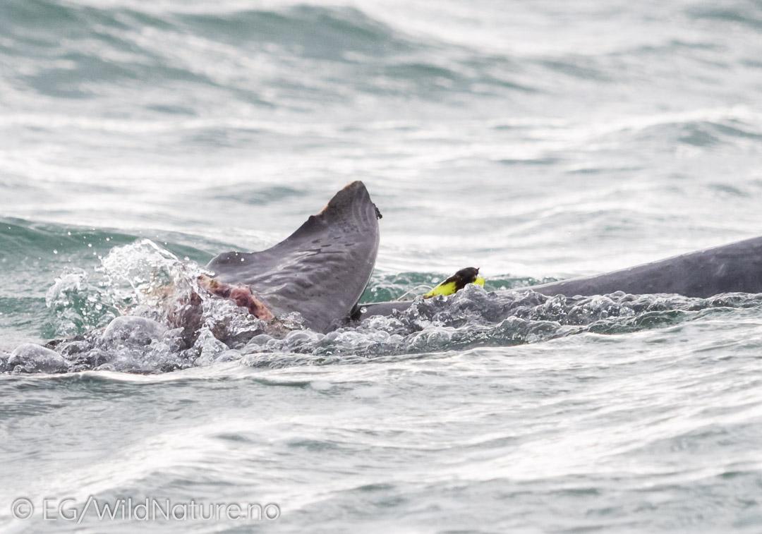 Fishing Line is deadly - Injured Bottlenose Dolphin of the coast of Port Elizabeth. Photo: Eirik Grønningsæter